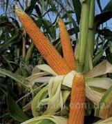 High yielding varieties
