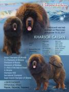 Puppies Tibetan Mastiff kennel SIC
